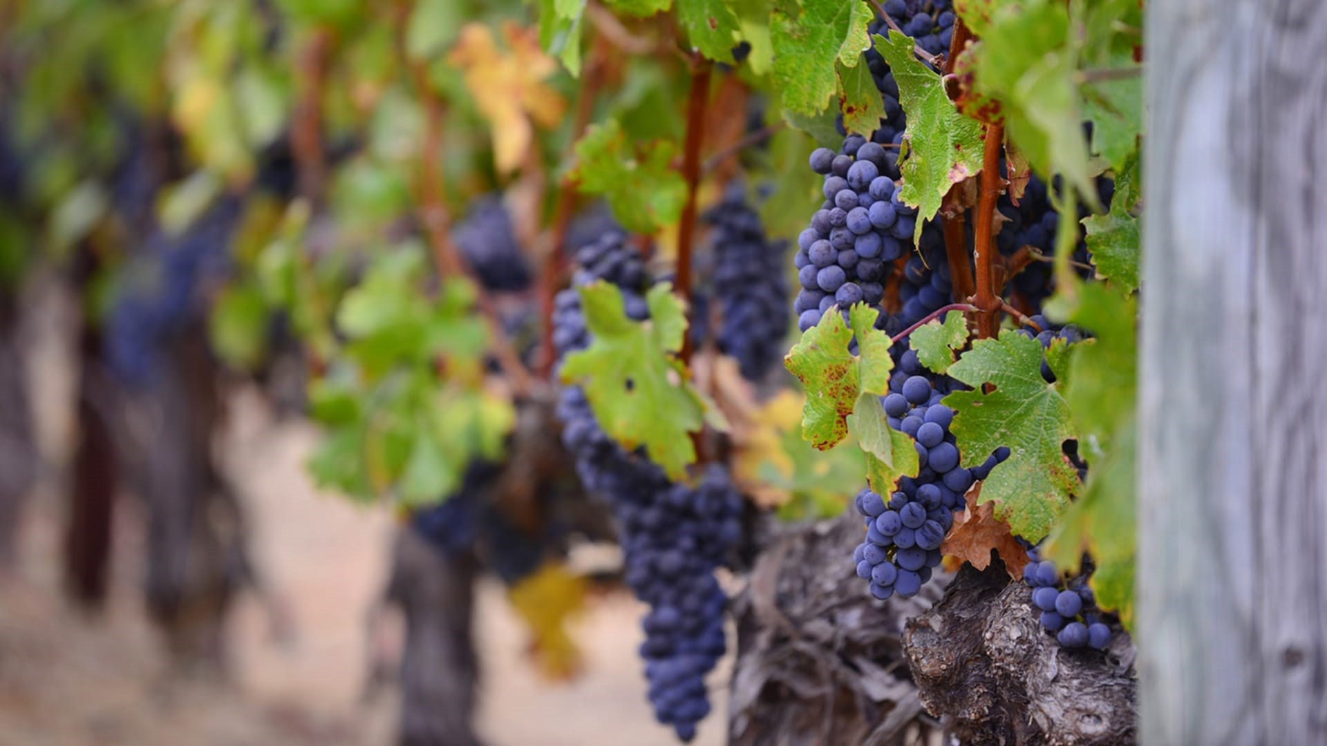 Vitis vinifera is the most widespread species in wine production